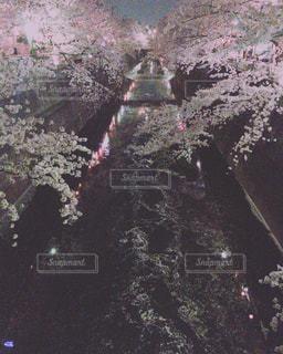 石神井川の夜桜の写真・画像素材[1106154]