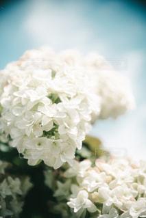 紫陽花のアップの写真・画像素材[1267813]