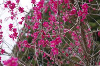 梅の香りの写真・画像素材[1107258]