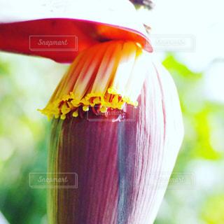 バナナの花の写真・画像素材[1112022]