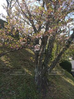 葉桜の写真・画像素材[1108739]