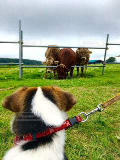 牛と犬 - No.1109109
