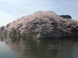 城壁の桜 - No.1109114