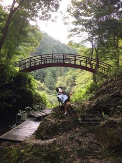 橋を見る犬 - No.1109128