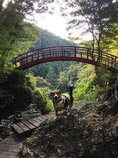 森の中の川に架かる橋とわんこ - No.1109148