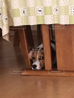 のぞき見する犬 - No.1109152