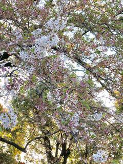 桜舞い散る - No.1116800