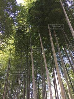 竹林の写真・画像素材[1107044]