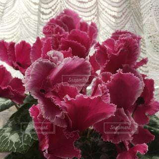 ピンクの花とレースの写真・画像素材[1107143]