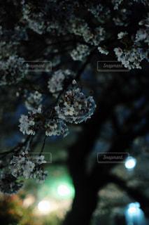 夜の桜の写真・画像素材[1107140]