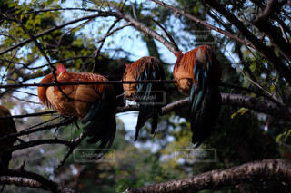 木の上で眠る鶏の写真・画像素材[1107269]