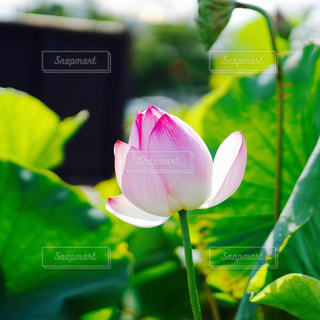 蓮の花の写真・画像素材[1107934]