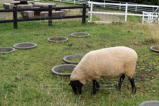 草を食べる羊の写真・画像素材[1107622]