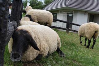 晴れた日に草を食べる羊の写真・画像素材[1107623]