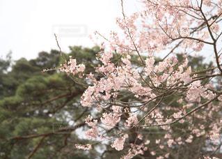 桜、春満開 - No.1107593