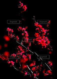 近くに暗い部屋でクリスマス ツリーのアップの写真・画像素材[1107741]