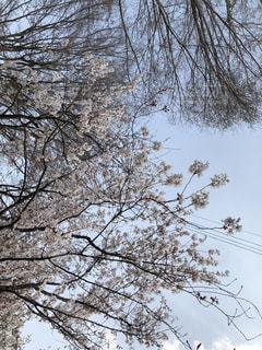 森の大きな木の写真・画像素材[1108235]
