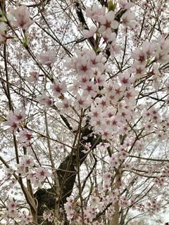 木の上のピンクの花で一杯の花瓶の写真・画像素材[1111193]