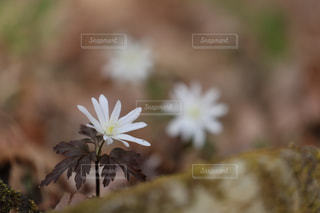 福島県白河市にある天狗山の春の写真・画像素材[1111238]