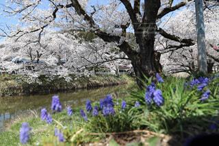 桜並木と草花の写真・画像素材[1123274]