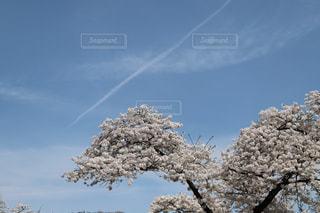 桜を見上げて見えた飛行機雲 - No.1123276