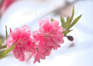ピンクの花で一杯の写真・画像素材[1134637]