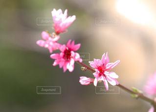 今年も咲いたな〜  ^_^の写真・画像素材[1145894]