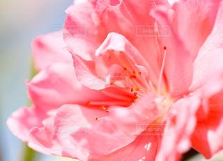 花桃の花の写真・画像素材[1145999]