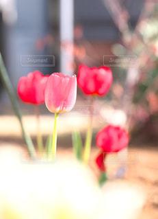 輝くチューリップの花 - No.1146817