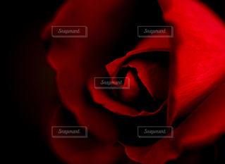 薔薇の本音を知る。の写真・画像素材[1265848]