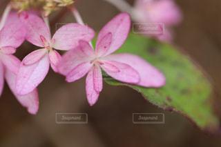 不思議な紫陽花の写真・画像素材[1266391]