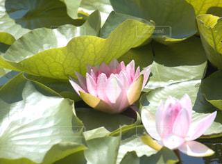 沼を彩る睡蓮の花の写真・画像素材[1279090]
