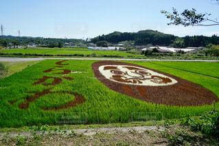 田んぼアートダルマの写真・画像素材[1632243]