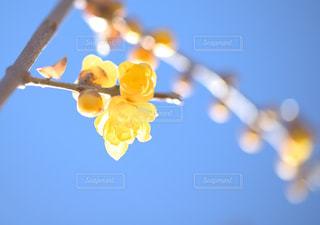 蠟梅の花に春を感じての写真・画像素材[1769162]