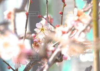 淡い香りの梅の花の写真・画像素材[1806871]