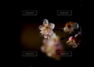 輝く梅の写真・画像素材[1806956]