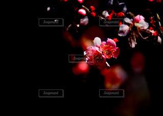 桜ではありません!梅です!の写真・画像素材[1809072]
