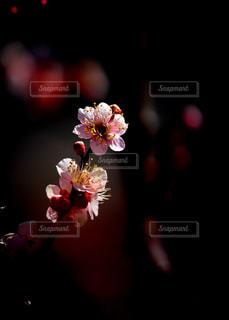 桜でなくて梅だよ。の写真・画像素材[1814781]