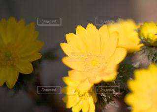黄色に光る福寿草。の写真・画像素材[1822833]