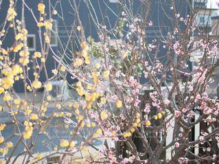 梅の花コラボの写真・画像素材[1826902]