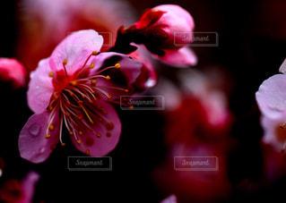梅の花、実がならない梅の花、されど梅の花。の写真・画像素材[1830896]