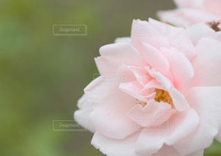 淡い薔薇と淡い香りの写真・画像素材[2231613]