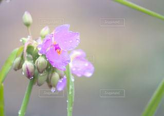 雨も滴るいいお花。の写真・画像素材[2256896]