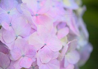 虹色あじさいの写真・画像素材[2293036]