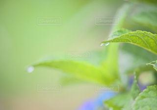 雨の日の紫陽花の写真・画像素材[2293037]