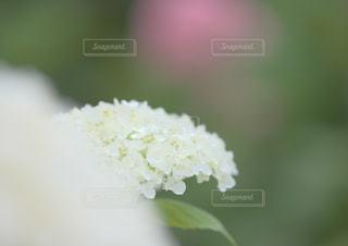 満開紫陽花の写真・画像素材[2293066]