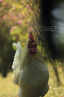 ニワトリの写真・画像素材[1152012]