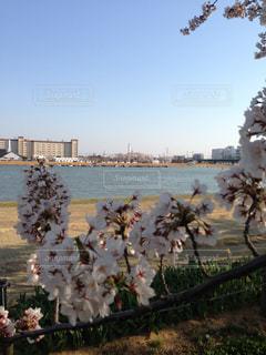 信濃川と桜の写真・画像素材[980536]