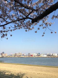 信濃川と桜の写真・画像素材[980537]
