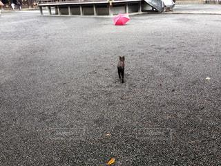 傘へ向かって歩く猫の写真・画像素材[1111792]